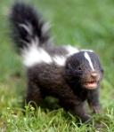 A baby skunk